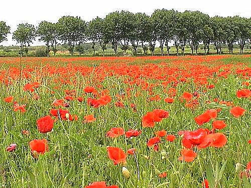 lien vers page coquelicot