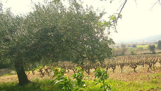 vigne et olivier